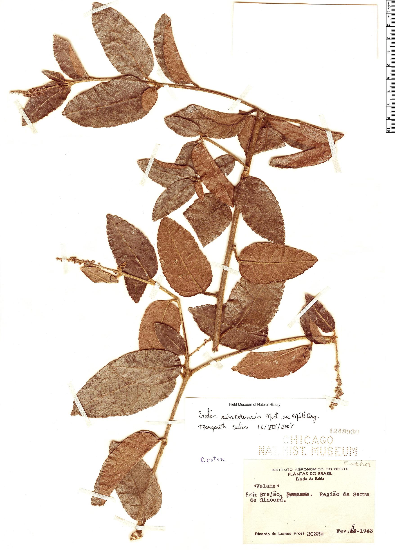 Specimen: Croton sincorensis