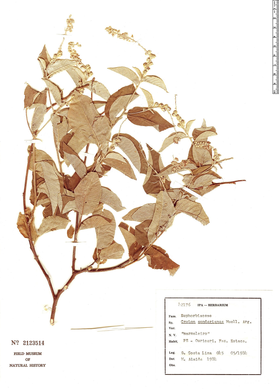 Specimen: Croton sonderianus