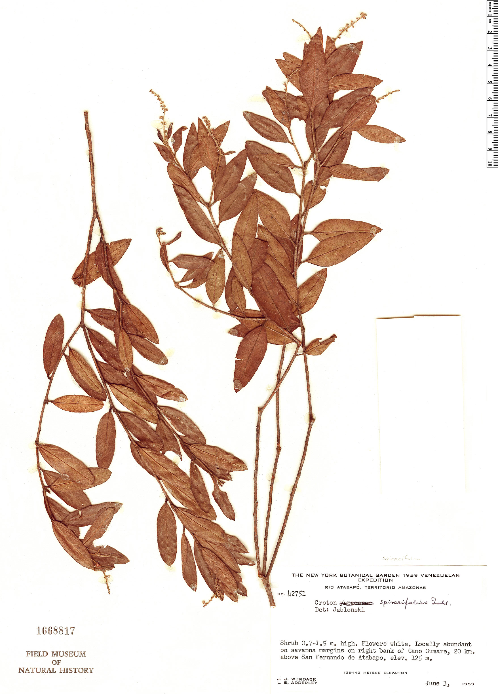Specimen: Croton spiraeifolius