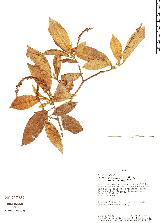 Specimen: Croton stenosepalus