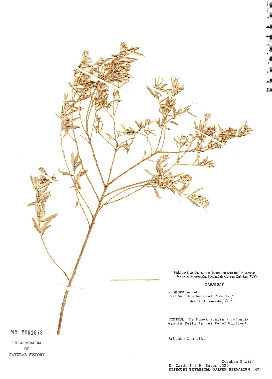 Espécime: Croton subcinerellus