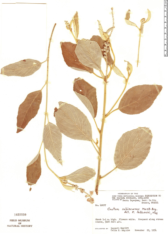 Specimen: Croton subincanus