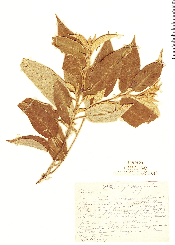 Specimen: Croton sucrensis