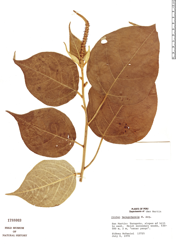 Specimen: Croton tarapotensis