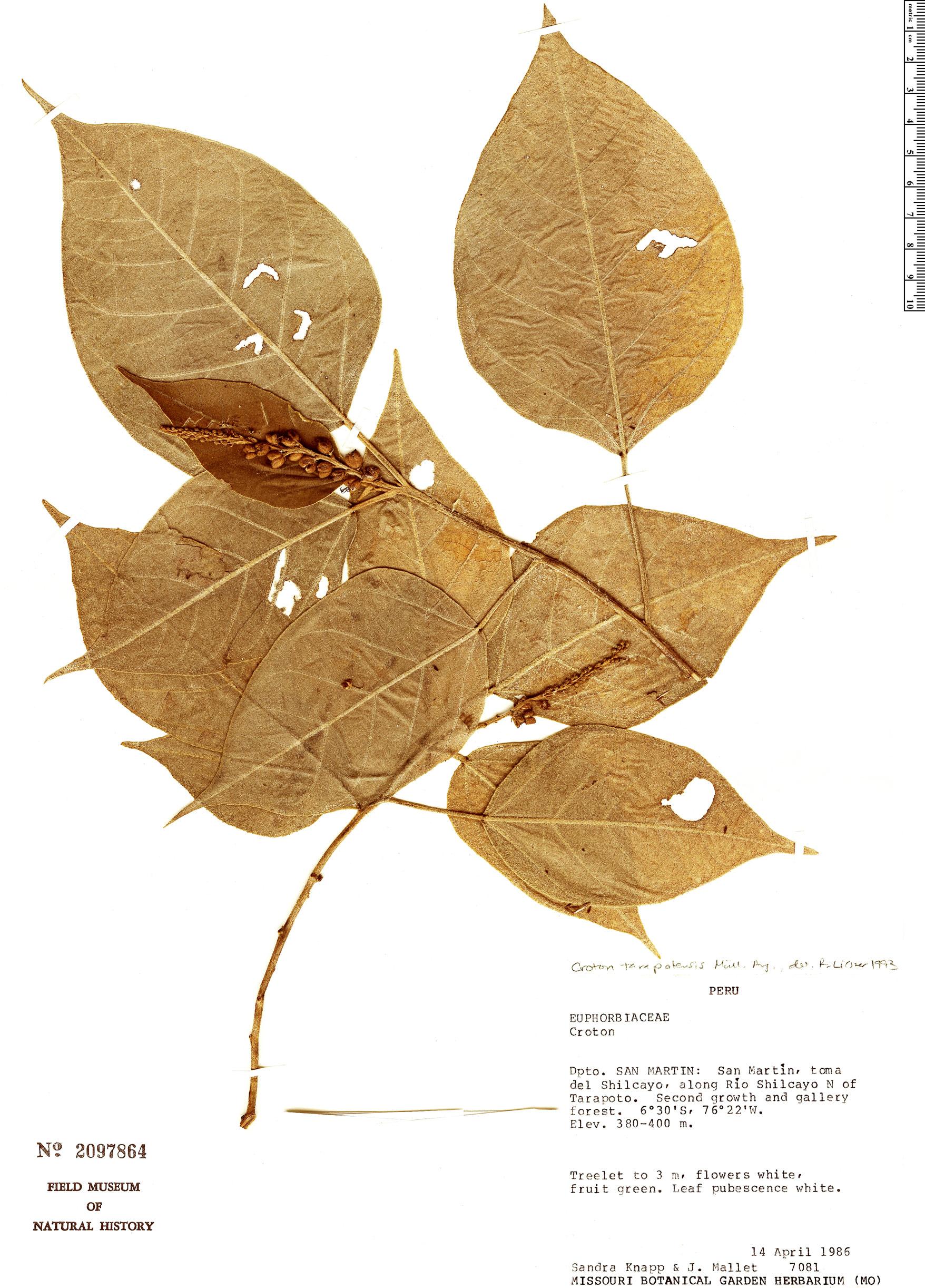Croton tarapotensis image