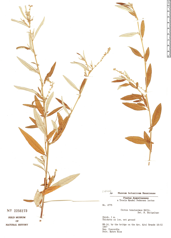 Specimen: Croton uruguayensis