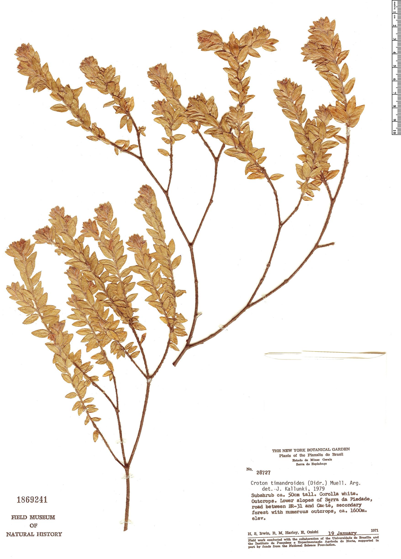 Specimen: Croton timandroides