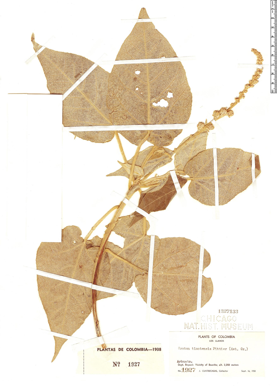 Specimen: Croton timotensis