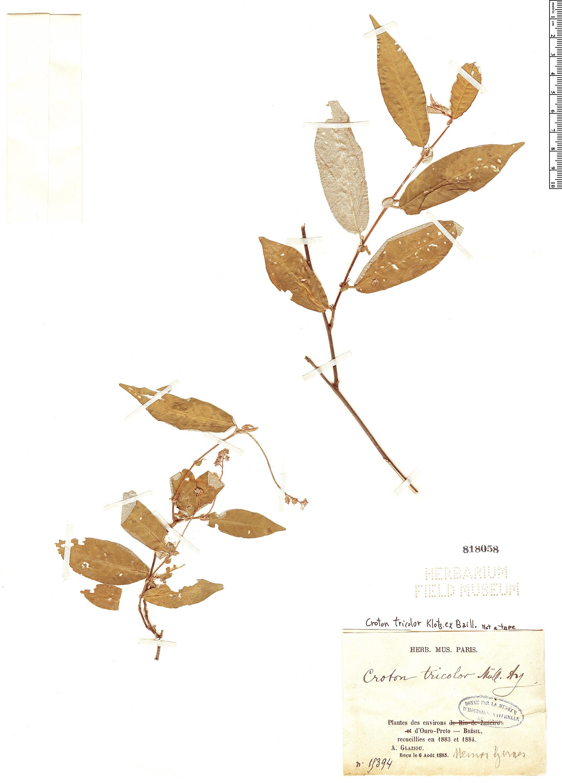 Specimen: Croton tricolor