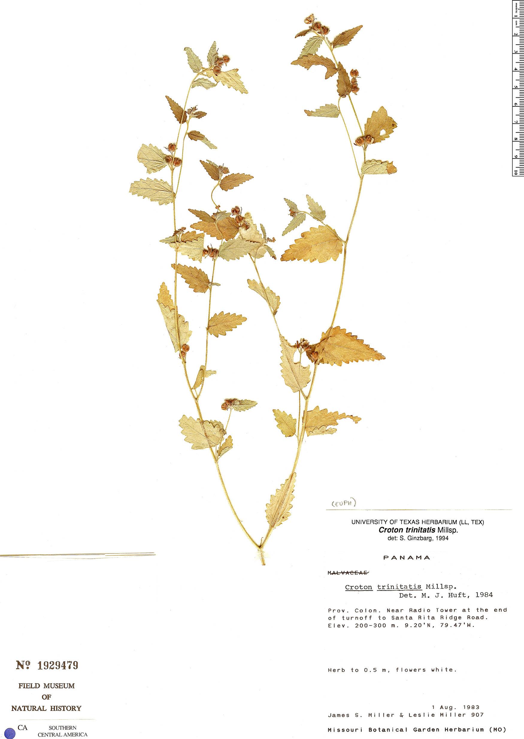 Specimen: Croton trinitatis