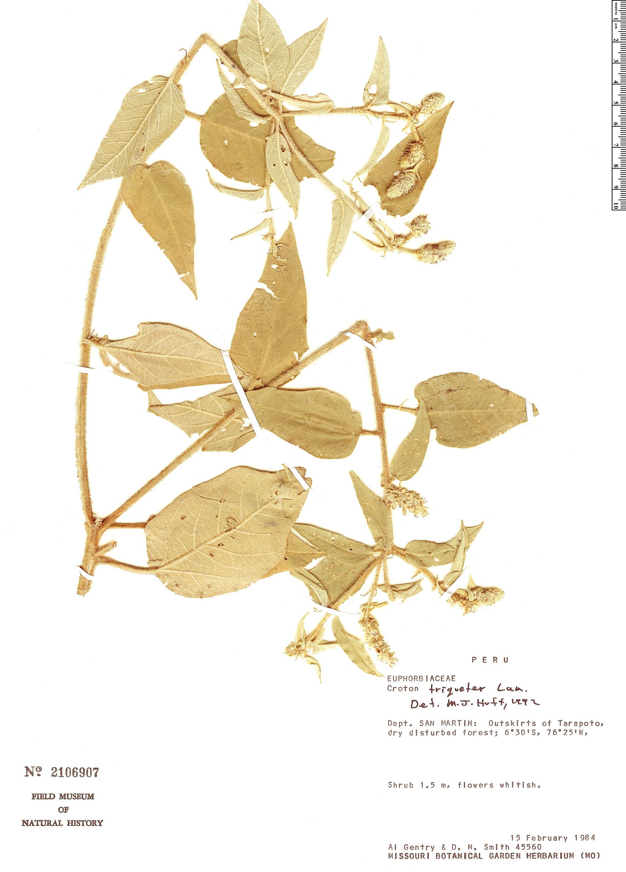 Specimen: Croton triqueter