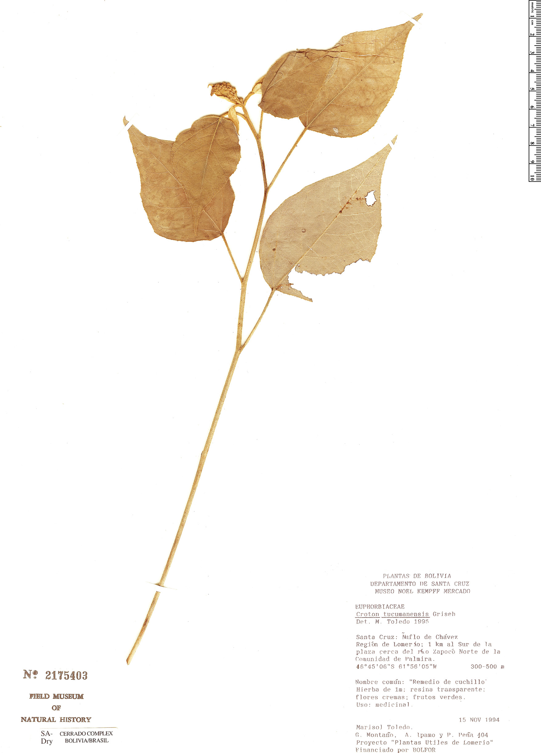 Specimen: Croton lachnostachyus