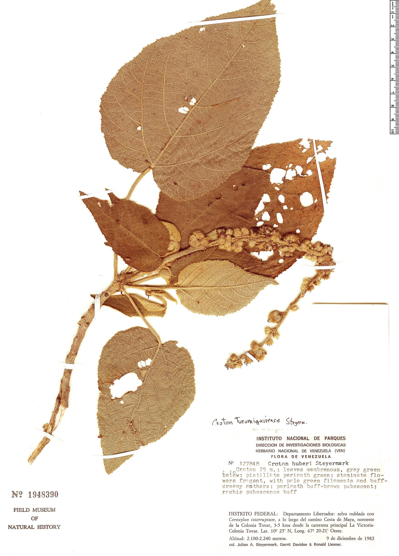 Specimen: Croton turumiquirensis
