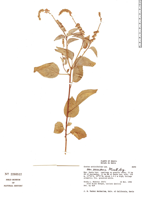 Specimen: Croton urticifolius