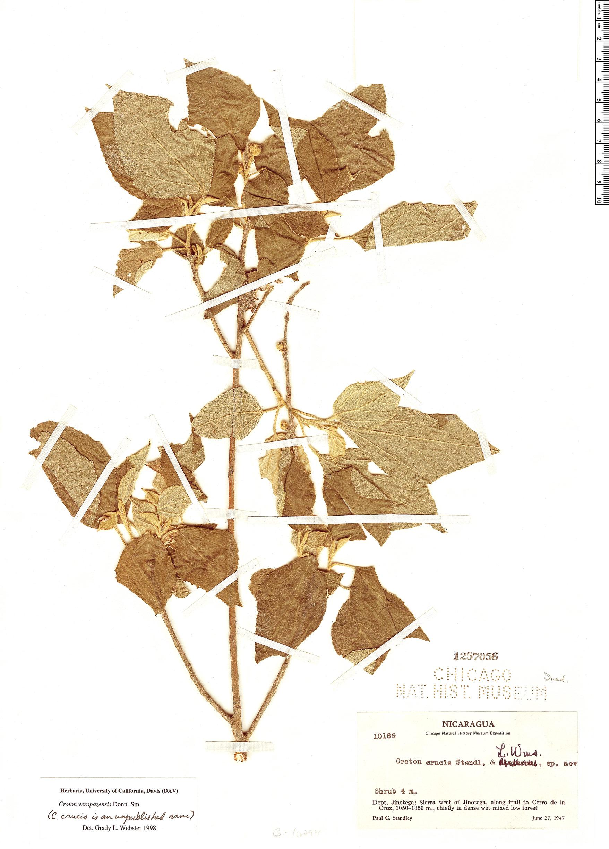 Specimen: Croton verapazensis