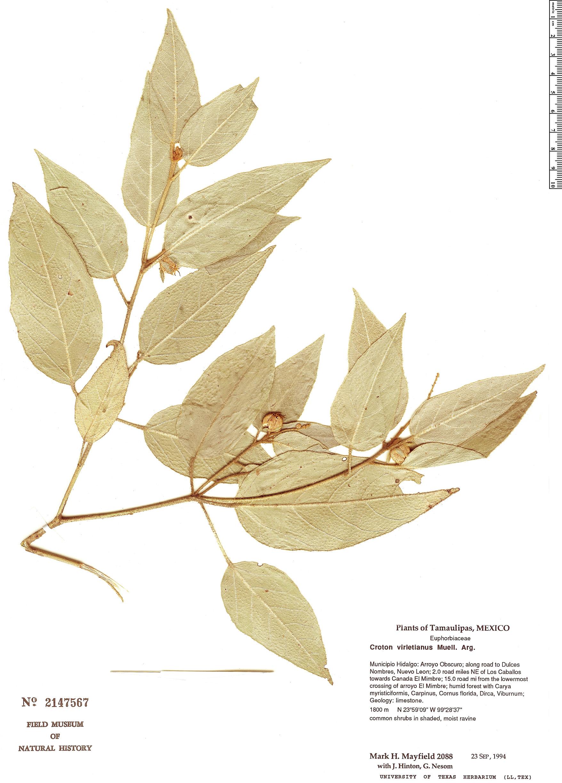 Specimen: Croton virletianus