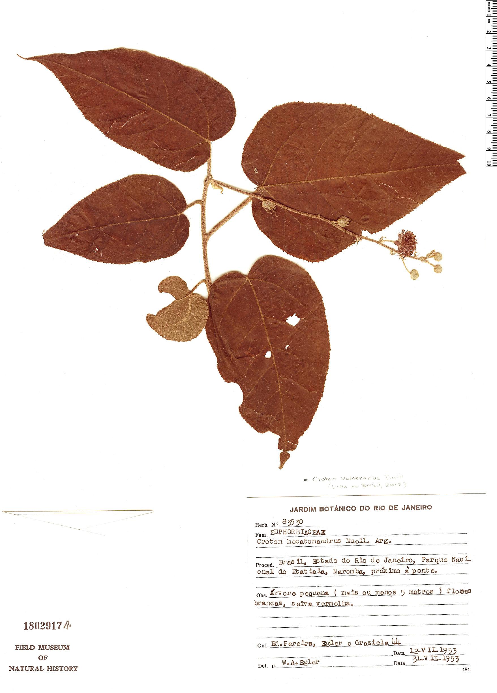Specimen: Croton vulnerarius