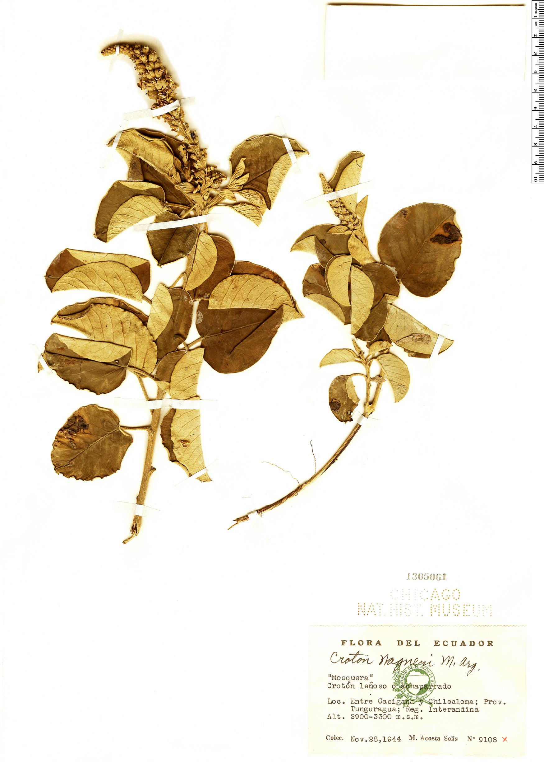 Specimen: Croton wagneri