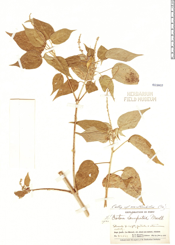 Specimen: Croton xanthochylus