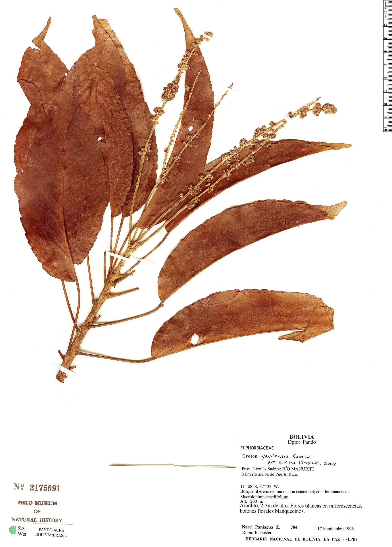Specimen: Croton yavitensis