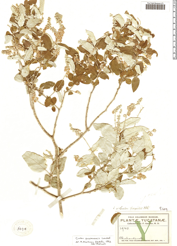 Specimen: Croton yucatanensis