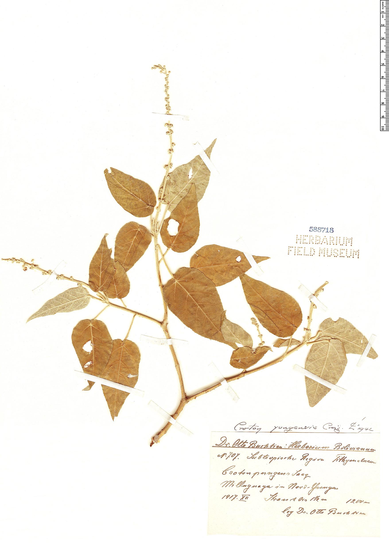 Specimen: Croton yungensis