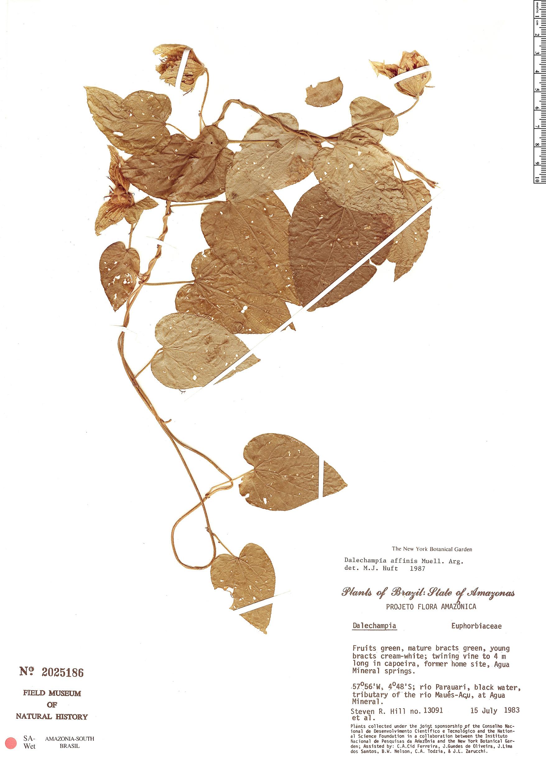 Specimen: Dalechampia affinis