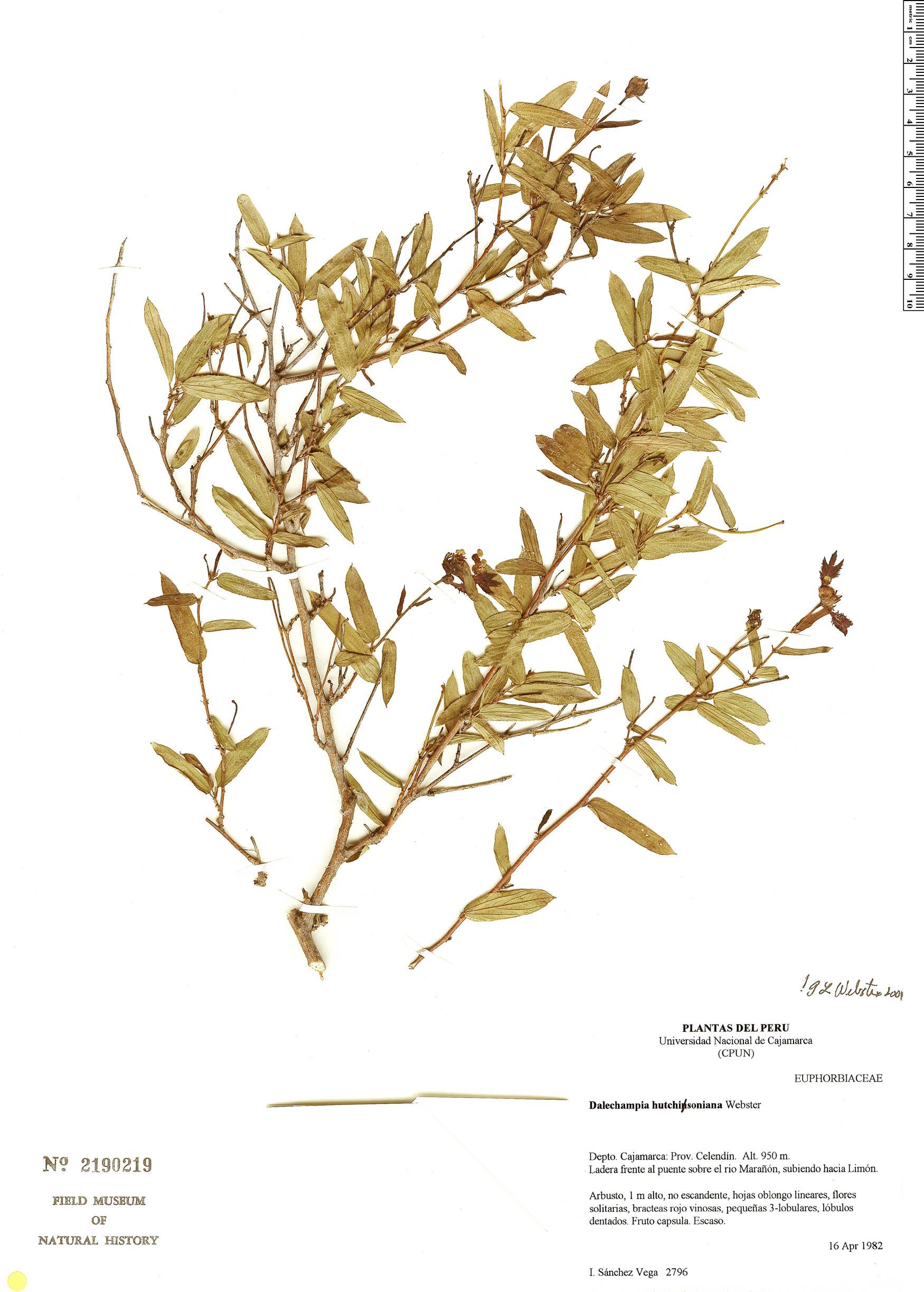 Specimen: Dalechampia hutchinsoniana