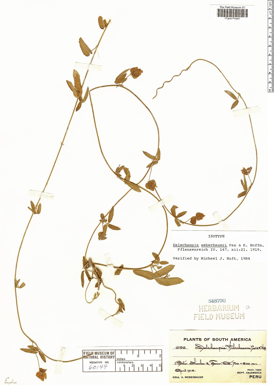 Specimen: Dalechampia weberbaueri