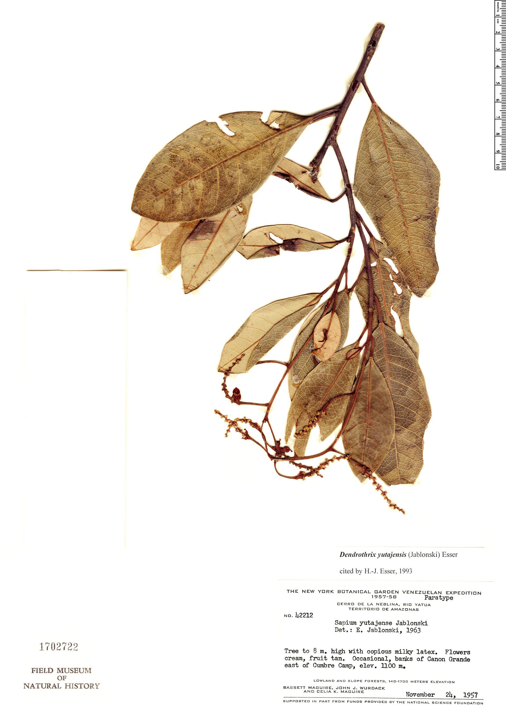 Specimen: Dendrothrix yutajensis
