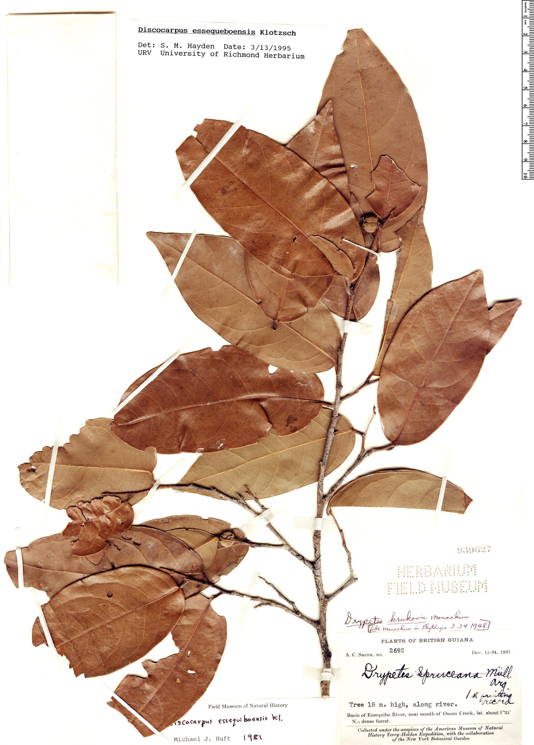 Specimen: Discocarpus essequeboensis