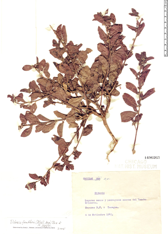Specimen: Ditaxis fendleri