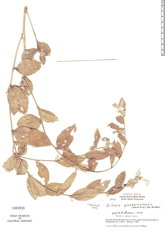 Specimen: Ditaxis guatemalensis