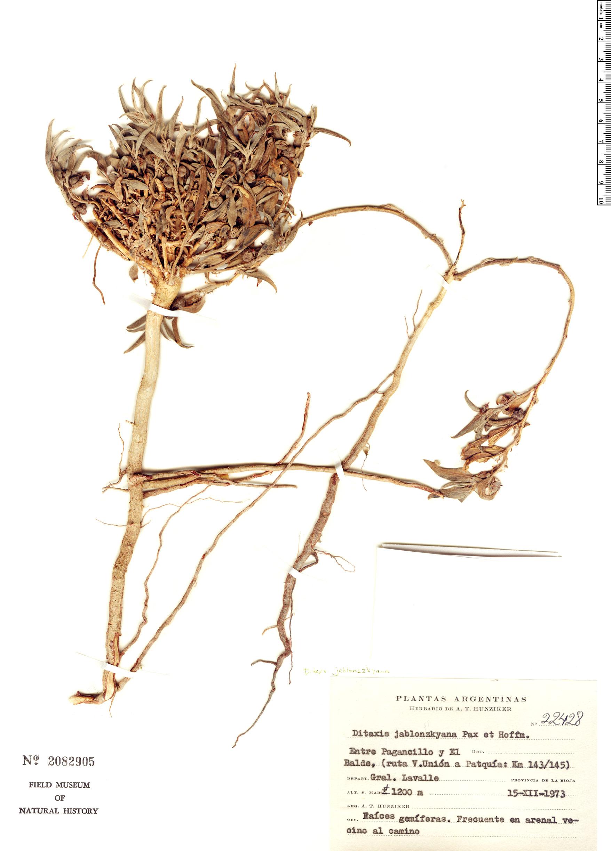 Specimen: Ditaxis jablonszkyana
