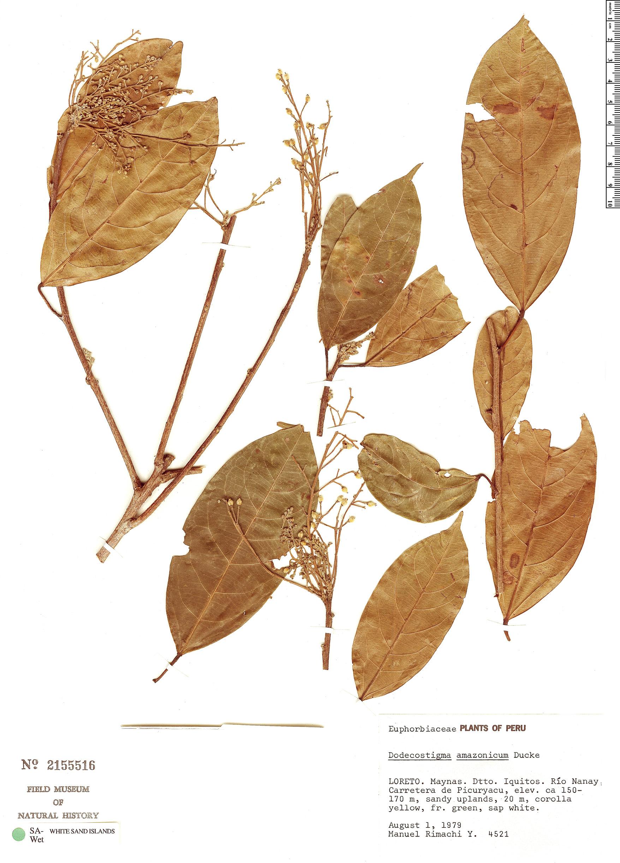Specimen: Dodecastigma amazonicum
