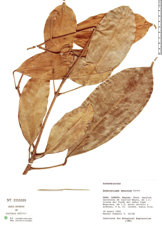 Espécime: Dodecastigma amazonicum