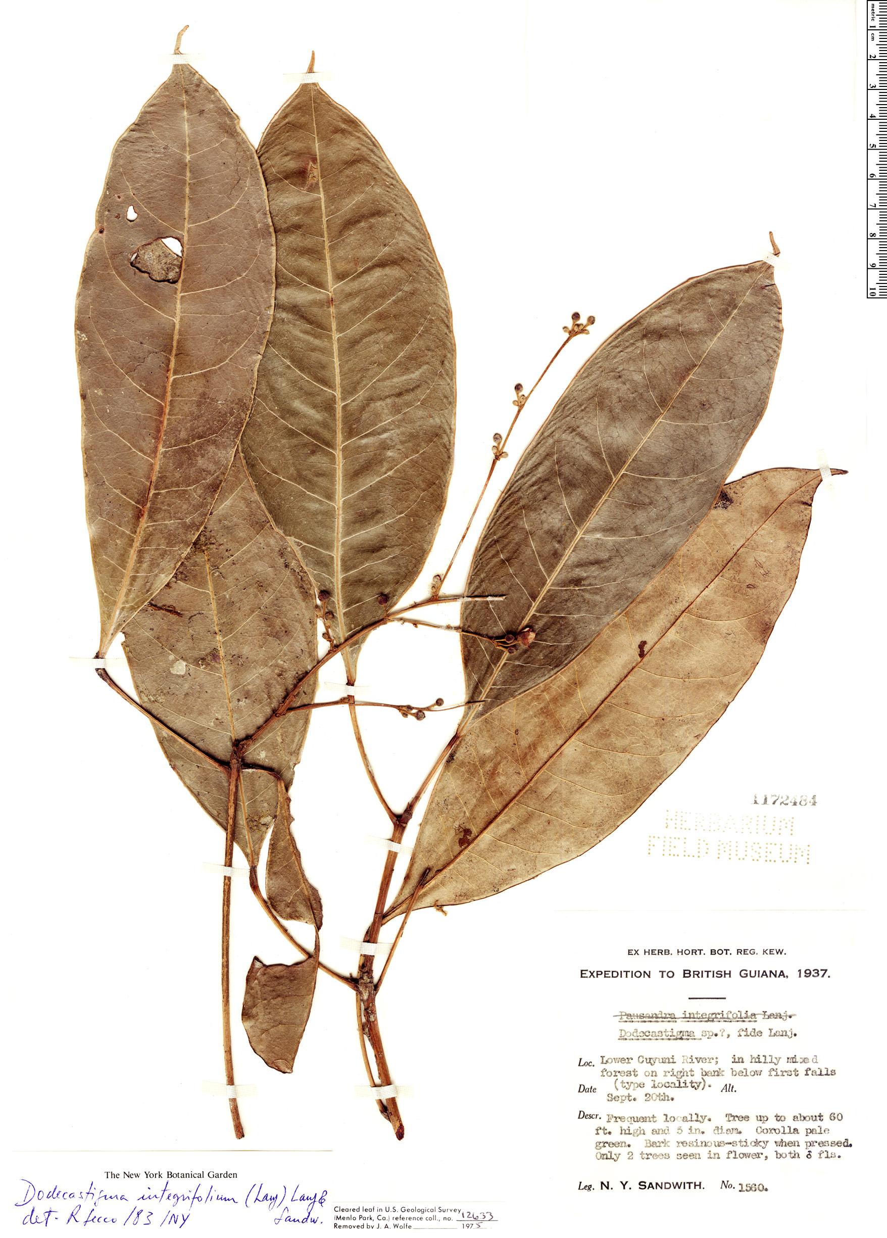 Specimen: Dodecastigma integrifolium