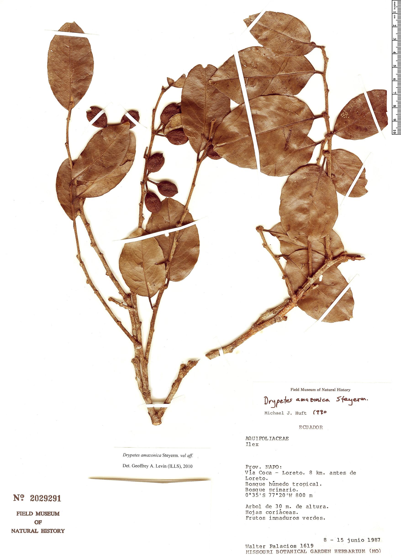 Specimen: Drypetes amazonica