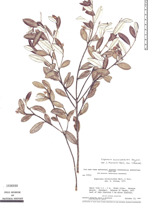 Specimen: Euphronia acuminatissima