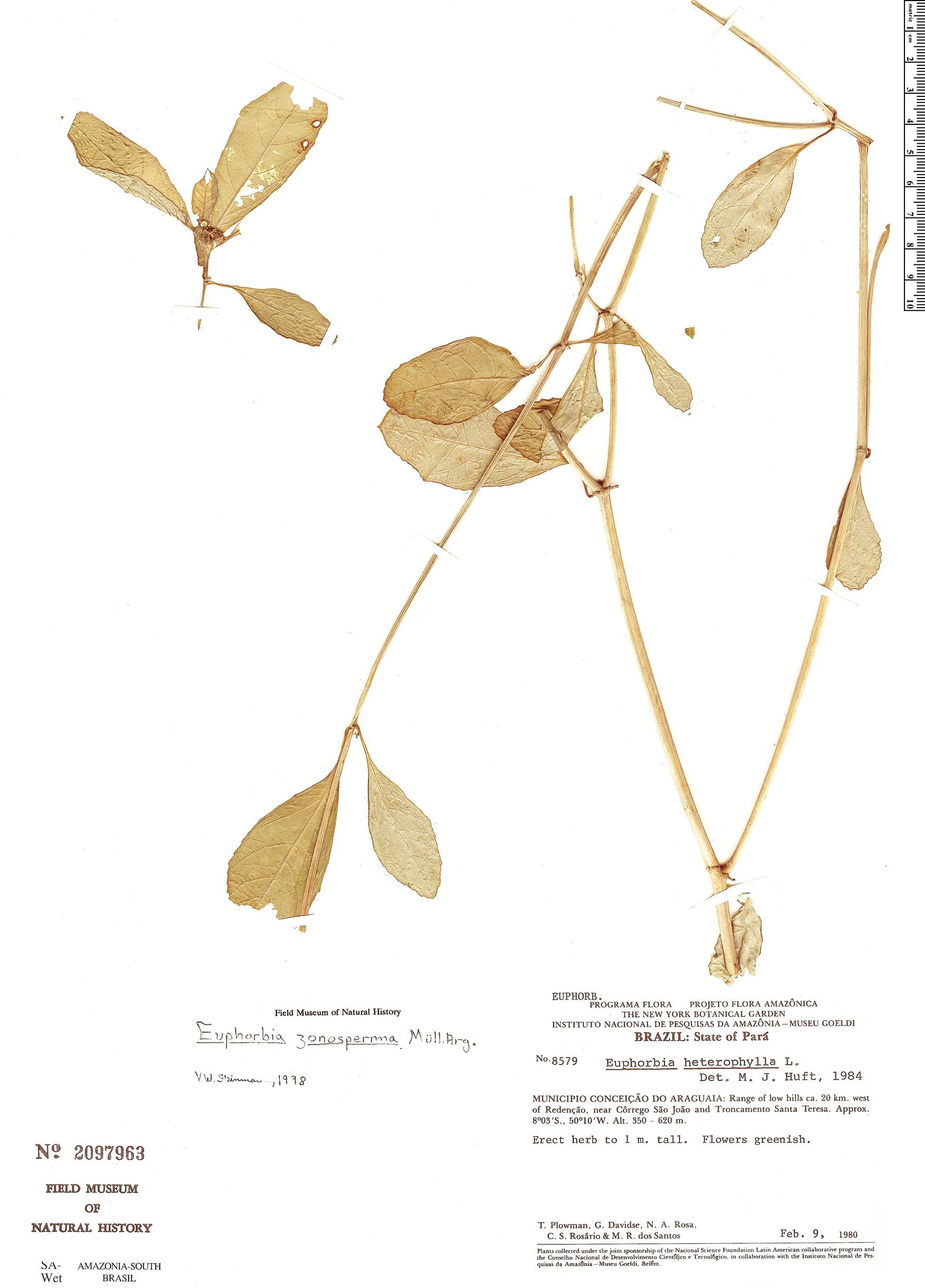 Specimen: Euphorbia zonosperma