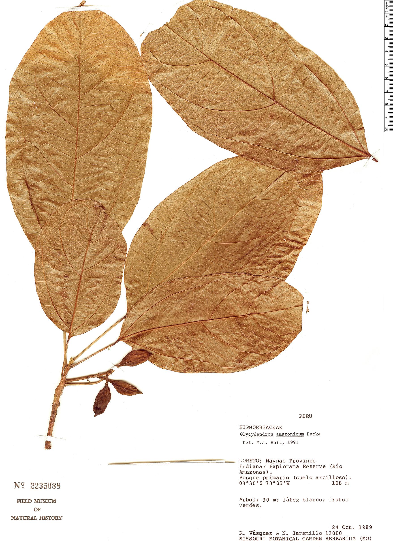 Specimen: Glycydendron amazonicum