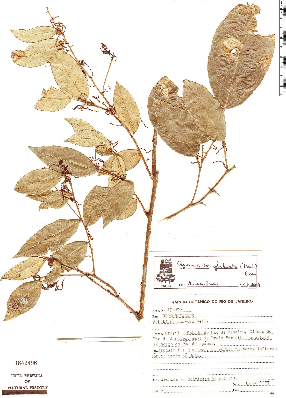 Specimen: Gymnanthes glabrata