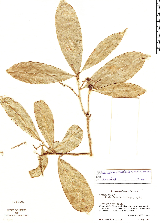 Specimen: Gymnanthes guatemalensis