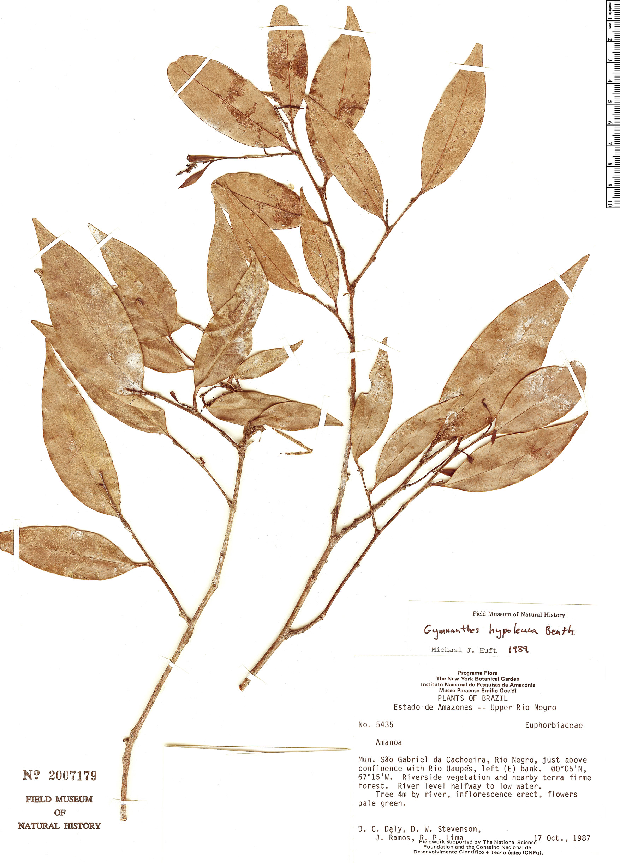 Specimen: Gymnanthes hypoleuca