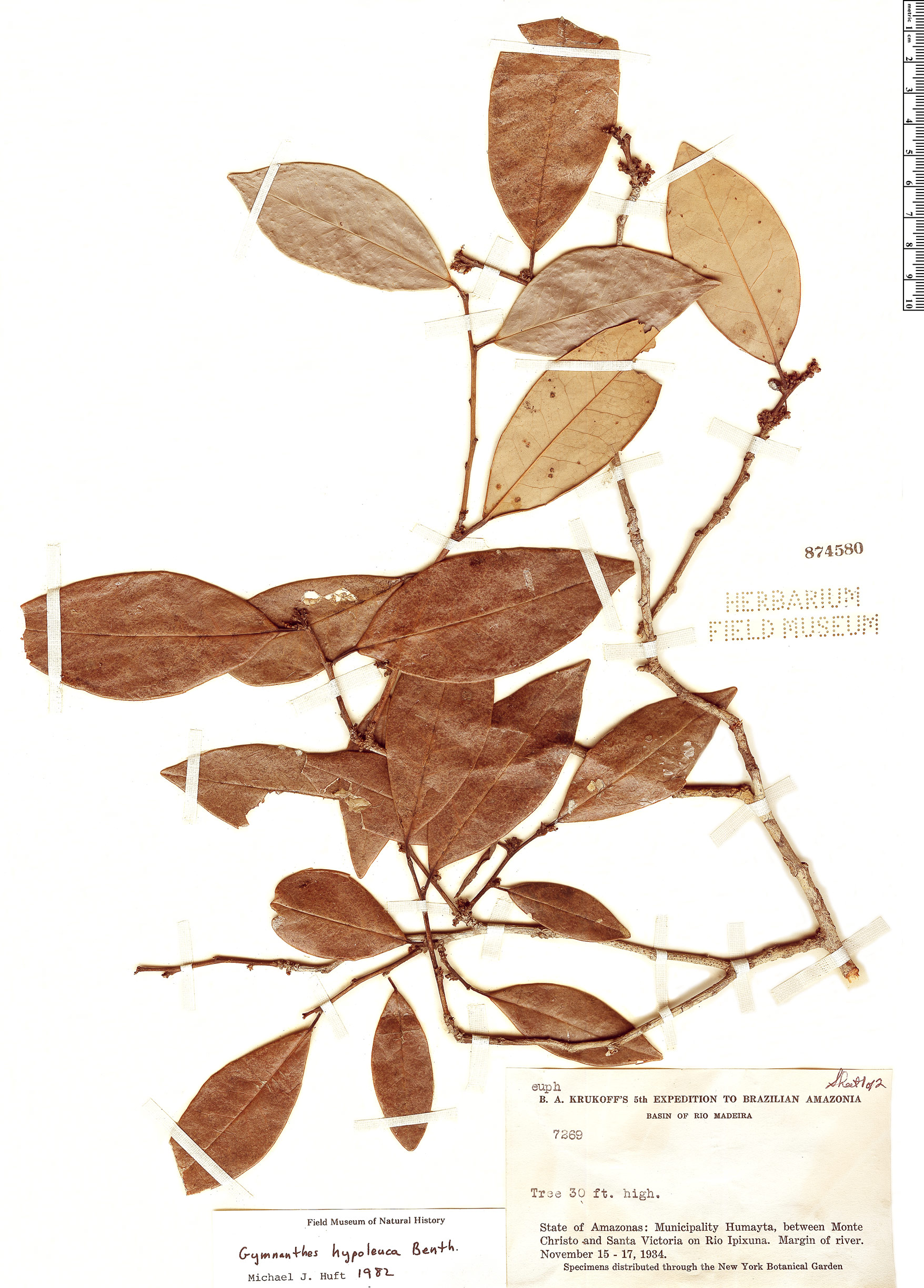 Specimen: Gymnanthes hypoleuca