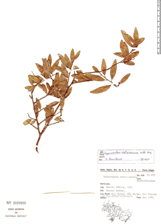 Specimen: Gymnanthes klotzschiana