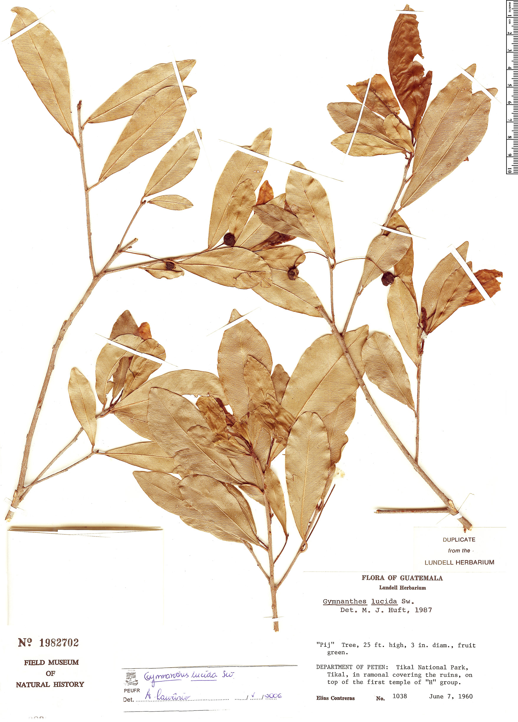 Specimen: Gymnanthes lucida