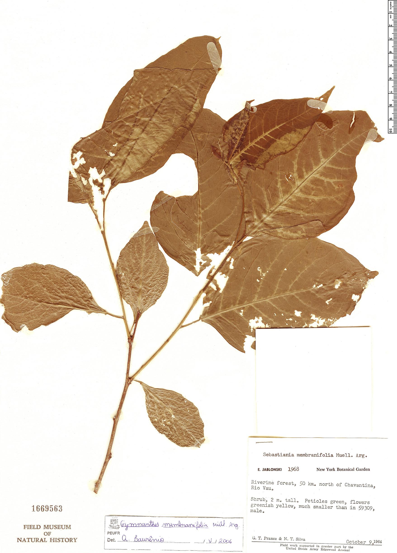 Specimen: Pleradenophora membranifolia