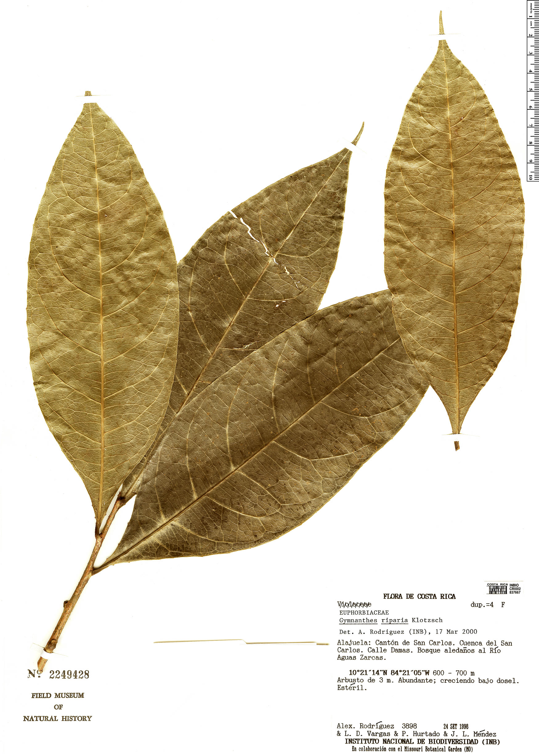 Specimen: Gymnanthes riparia