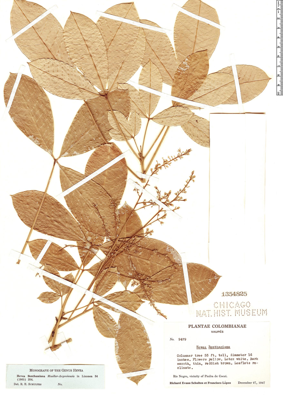 Specimen: Hevea benthamiana